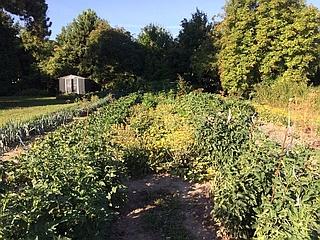 Gemüsegarten gewachsen 320x240