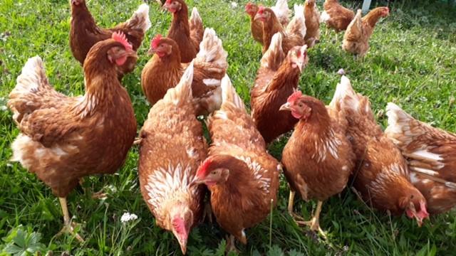 Hühner 640x360